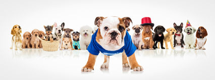 English bulldog standing in front of  dogs pack Stock Photography