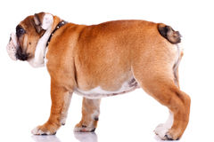 English bulldog standing and looking at something Stock Photography