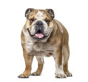English bulldog standing and panting, isolated Royalty Free Stock Photos