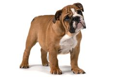 English bulldog, standing sideways on white background and looking forward royalty free stock photography