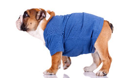 English bulldog standing and wearing nice clothes Royalty Free Stock Photos
