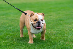 English bulldog staying on the green field Royalty Free Stock Image