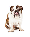 English Bulldog Sticking Tongue Out Stock Image