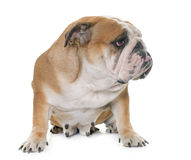 English bulldog in studio Royalty Free Stock Images