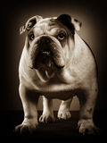 English bulldog studio portrait Royalty Free Stock Photography
