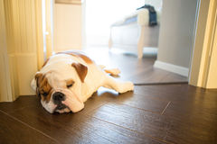 English bulldog in stylish home enjoying life royalty free stock photo