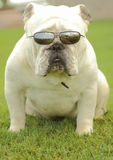 English Bulldog with Sunglasses Royalty Free Stock Photography