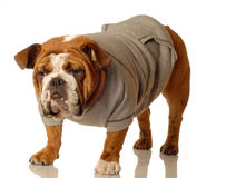 English bulldog with sweatsuit Royalty Free Stock Image