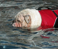 English Bulldog Swimming. English bulldog wearing a lifevest swimming Royalty Free Stock Photo