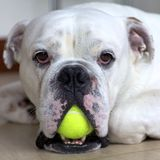 English Bulldog with Tennis Ball Royalty Free Stock Photo