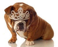 English bulldog with tiara Stock Photos