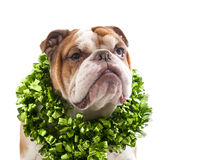 English Bulldog with tinsel around his neck. Royalty Free Stock Photography