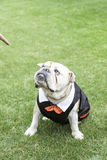 English Bulldog tuxedo Royalty Free Stock Image