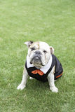 English Bulldog tuxedo Royalty Free Stock Photos