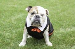 English Bulldog tuxedo Royalty Free Stock Images