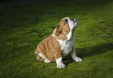 English bulldog waiting in the grass royalty free stock photo