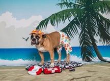 English Bulldog waiting to be a life saver. An English bulldog standing on a boogie board on a beach scene waiting to be a lifeguard and life saver Stock Images