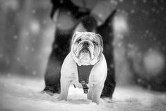 English Bulldog in walk Royalty Free Stock Photos