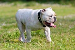 English Bulldog walking Stock Image