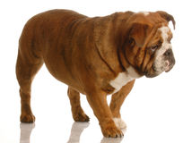 English bulldog walking Stock Photos