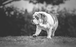 English Bulldog walking Royalty Free Stock Image