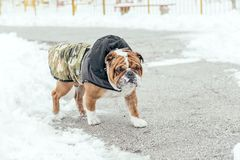Portrait of English bulldog. English bulldog walking in the park during cold weather Stock Photos