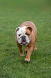 English Bulldog, walking towards the camera Stock Image