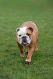 English Bulldog, walking towards the camera Stock Image
