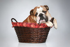 English bulldog in wattled basket Stock Images