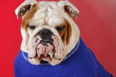 English bulldog wearing blue sweater Royalty Free Stock Images