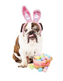 English Bulldog Wearing Bunny Ears and Basket Royalty Free Stock Photography