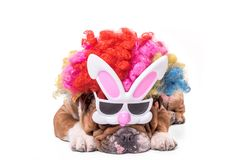 English bulldog wearing bunny mask. And clown wig,Easter concept Stock Image
