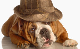 English bulldog wearing fedora Royalty Free Stock Images