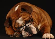 English bulldog wearing glasses Stock Photos