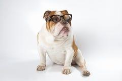 English Bulldog wearing glasses for vision. Royalty Free Stock Photo