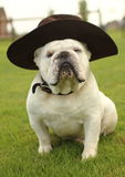 English Bulldog Wearing Hat Stock Photo