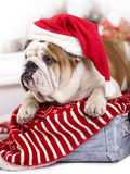 English bulldog wearing santa hat Stock Photos