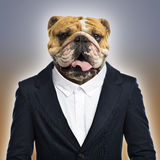 English bulldog wearing a suit Royalty Free Stock Photo