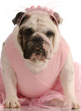 English bulldog wearing a tutu Stock Photography