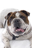 English Bulldog on White Background Stock Image