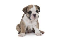 English Bulldog on white background Royalty Free Stock Photography