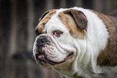 English Bulldog Stock Photography