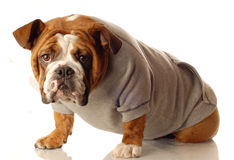 English bulldog working out Royalty Free Stock Photography