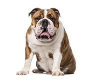 English Bulldog (4 years old) Stock Photography