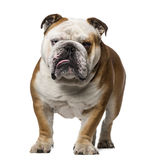 English Bulldog (3 years old) Stock Image