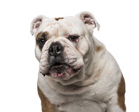 English Bulldog (6 years old) Stock Image
