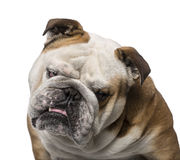 English Bulldog (3 years old) Stock Images