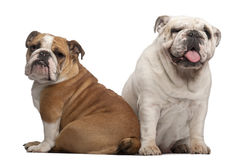 English Bulldogs, 2 years old and 7 months old Royalty Free Stock Image