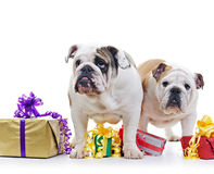 English Bulldogs Stock Photography