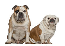 English bulldogs, 5 years old Stock Images